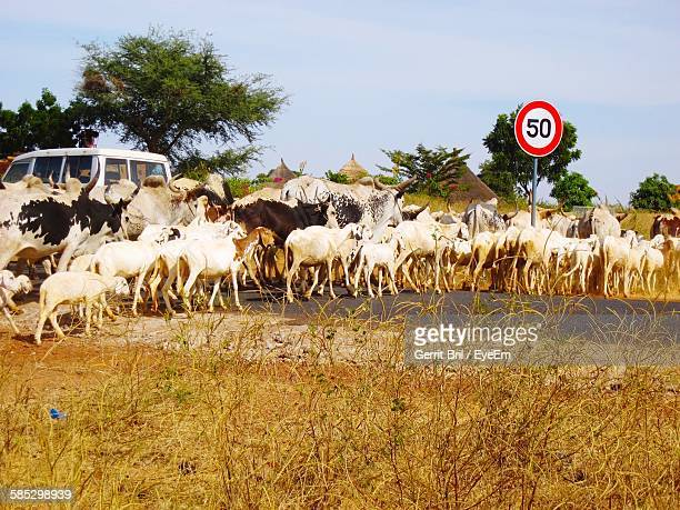 Cows With Calf Crossing Road