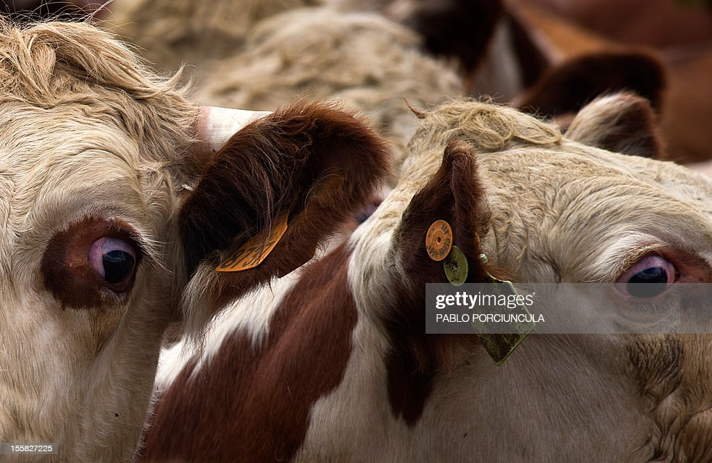 Cows with their traceability earring are seen at Frigorifico San Jacinto, an Uruguayan meat processing plant, in San Jacinto, department of Canelones on October 31, 2012, during a visit of attendants to the Second Global Conference on Agricultural Research for Develpment (2012 GCARD). Traceability is compulsory in Uruguay. AFP PHOTO/Pablo PORCIUNCULA