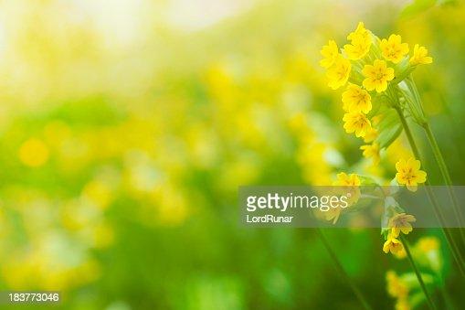 Cowslip in bloom