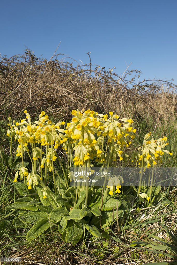 Cowslips northern France : Stock Photo