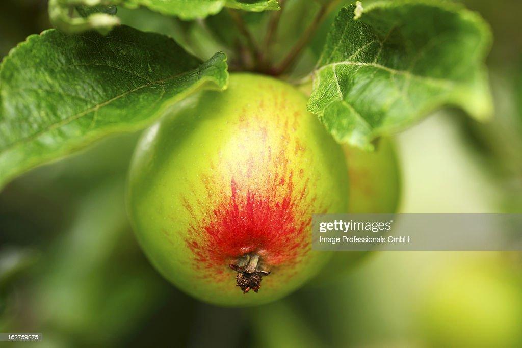 Cox apples on tree