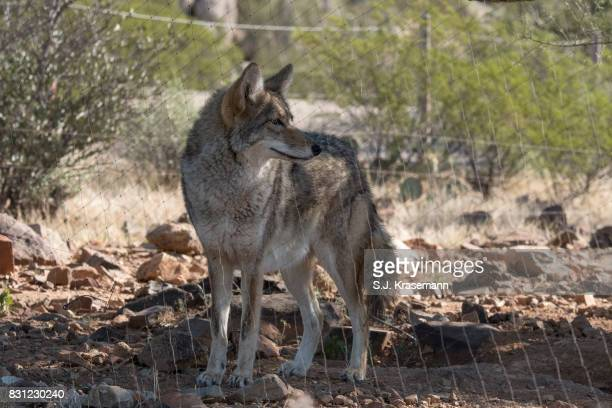 Coyote at the Arizona Sonora Desert Museum.