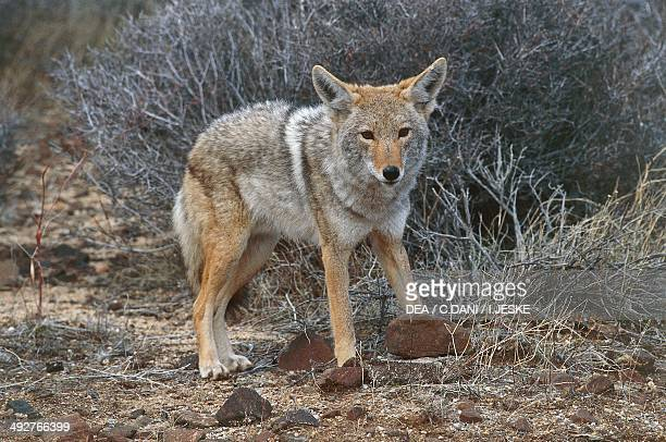 Coyote Canidae
