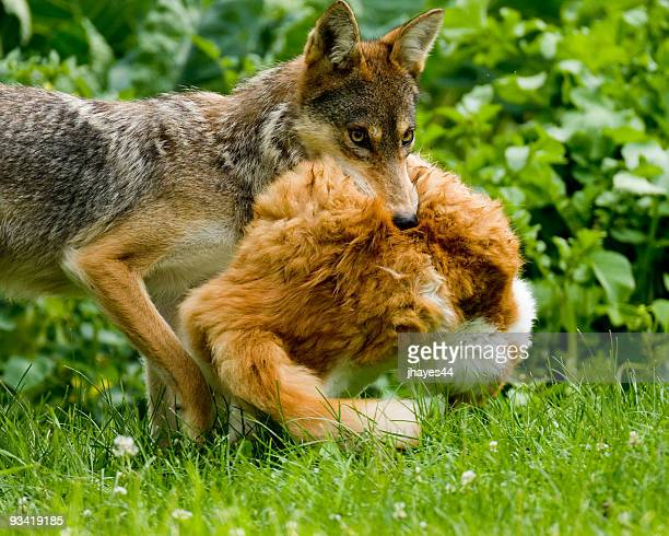 Coyote carrying Cat