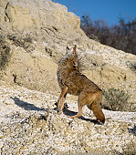 Howling coyote. Photographed in the Badlands, North Dakota