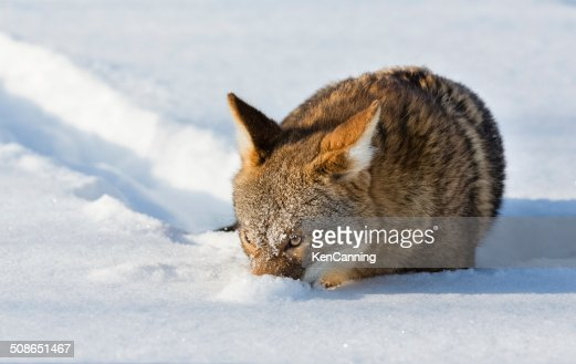 Coyote in Winter : Stock Photo