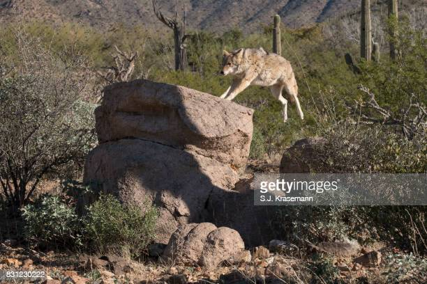 Coyote leaping onto boulder at Sonora Desert Museum, Arizona.