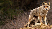 On a spring day, a coyote is standing on top of a hill and looking at the camera.