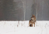 Coyote in open meadow during springtime.  Misty, rain and snow create a mournful backdrop.
