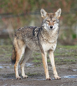 The Coyote is a highly versatile species, whose range has expanded amidst human environmental modification. This expansion is ongoing, and it may one day reach South America