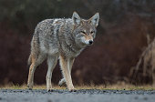 A coyote in British Columbia, Canada.
