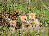 a trio of Coyote pups peer from their den near Big Sky, Montana