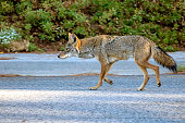 Young coyote roaming the streets of Southern California in plain daylight.