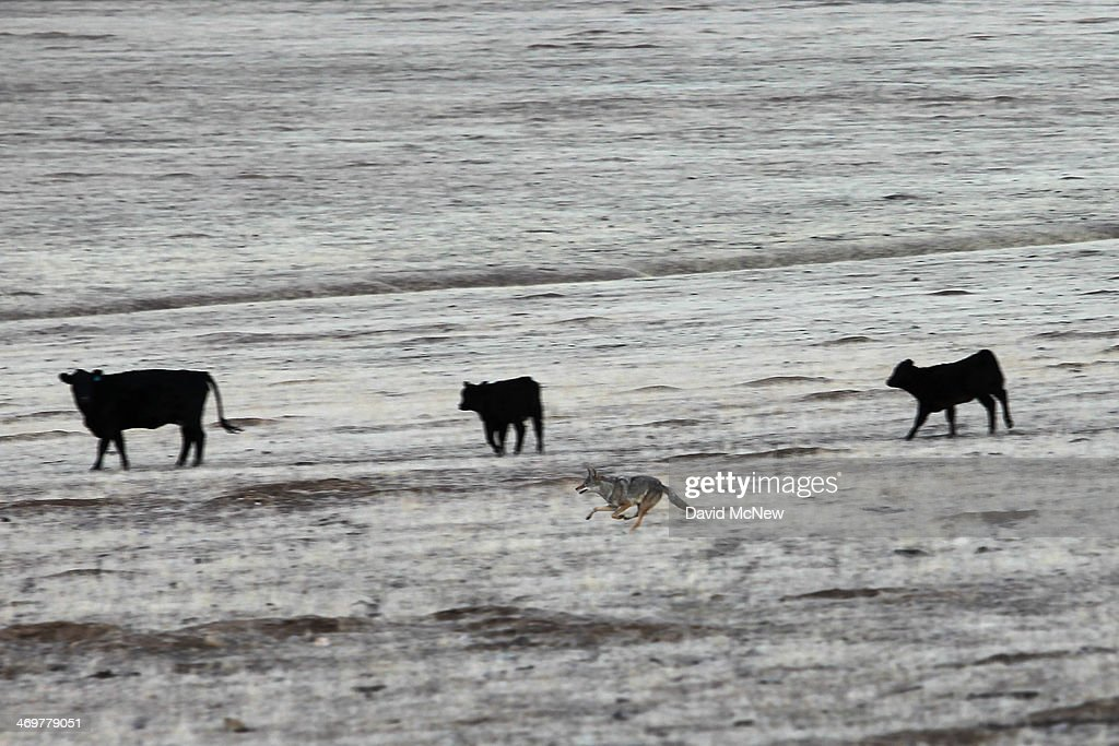 A coyote runs through a herd of cattle grazing on grassland that remains dry and brown at the height of the rainy season on February 15 2014 south of...
