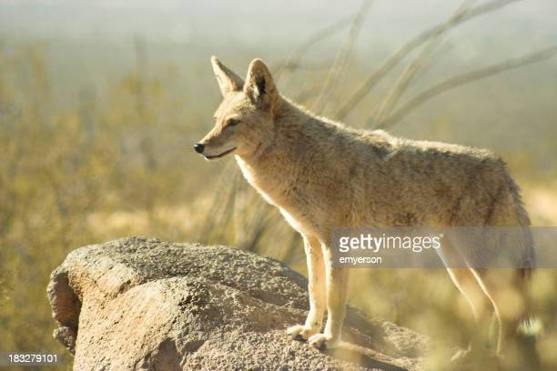 Coyote standing on a rock in an arid place