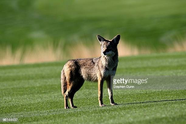 A coyote stands on the 12th fairway at SilverRock Resort during the fourth round of the Bob Hope Classic on January 24 2010 in La Quinta California