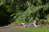 Coyote stretching in urban park.