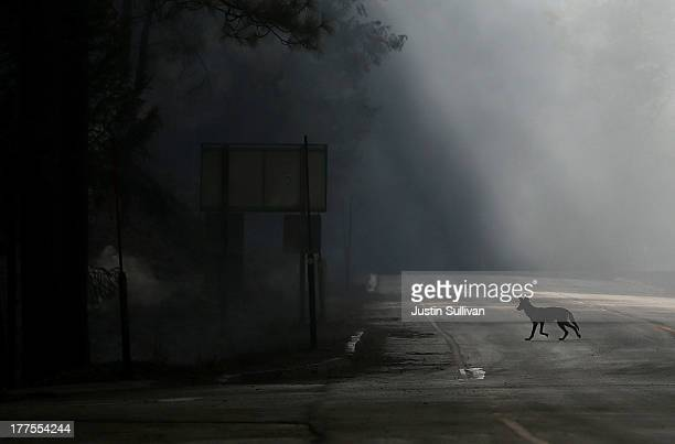 A coyote walks across US Highway 120 shut down due to the Rim Fire on August 23 2013 near Groveland California The Rim Fire continues to burn out of...