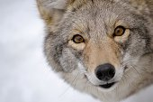 Coyote's face close-up in the snow, in winter