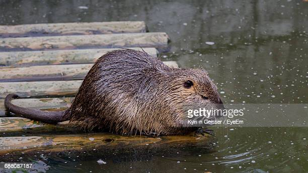Coypu By The Water