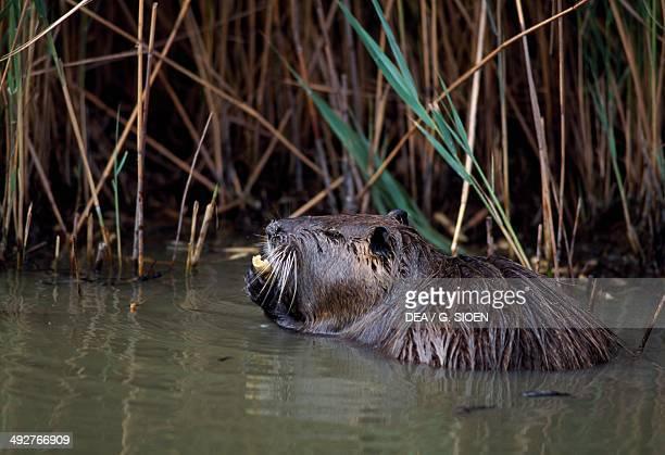 Coypu Nutria or River rat Myocastoridae Camargue Provence France