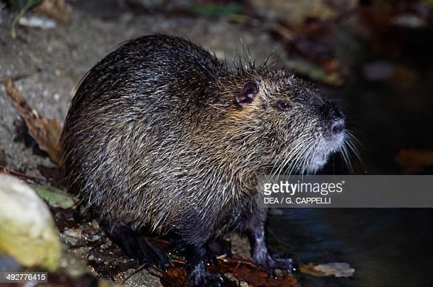 Coypu Nutria or River rat Myocastoridae