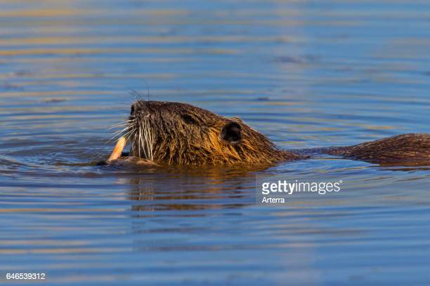 Coypu / river rat / nutria native to South America eating cane in pond