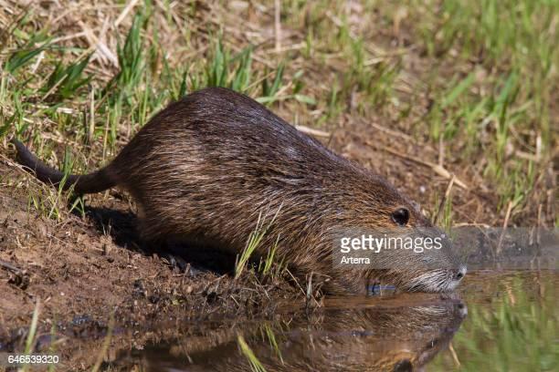 Coypu / river rat / nutria native to South America entering water