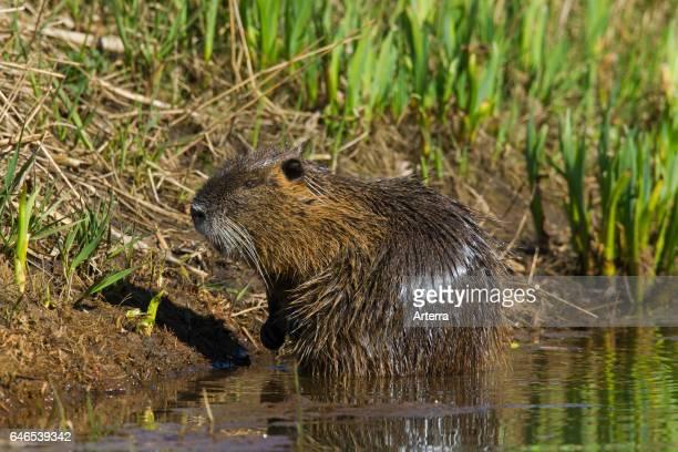 Coypu / river rat / nutria native to South America foraging along lake shore
