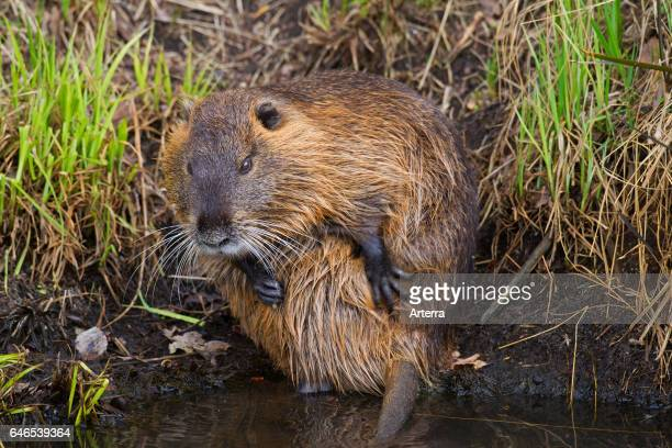Coypu / river rat / nutria native to South America grooming fur with front paws