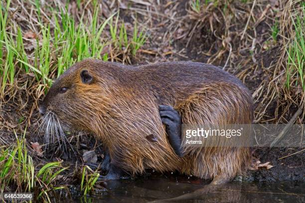 Coypu / river rat / nutria native to South America scratching fur with hind leg