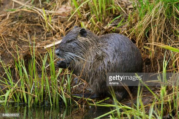 Coypu / river rat / nutria native to South America sitting on pond bank