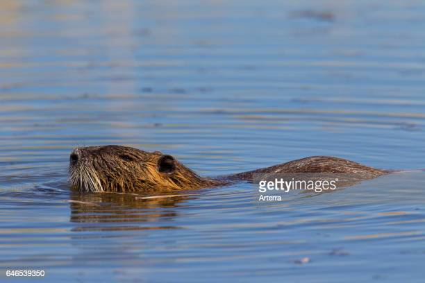 Coypu / river rat / nutria native to South America swimming in pond