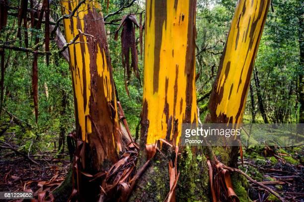Cplorful Eucalyptus tree shedding bark at Overland track, Tasmania