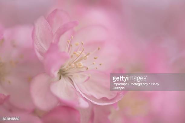 Crab Apple in the spring single bloom close up