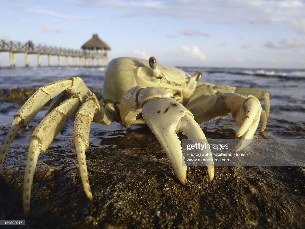 Crab at Mayan Riviera : Stock Photo