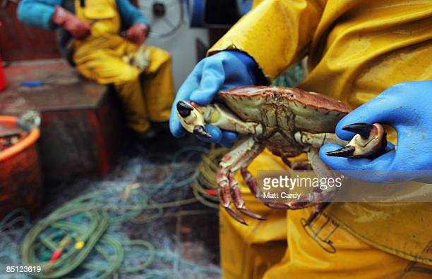 Crab caught by Cornish fisherman Chris Bean and his crewmate Mario 'Chino' Rios are prepared aboard their fishing boat a few miles out to sea near...
