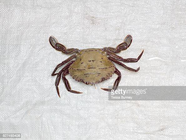 Crab freshly caught by the fishermen of Tamiao Bantayan Island The Philippines On November 6 2013 Typhoon Haiyan hit the Philippines and was one of...