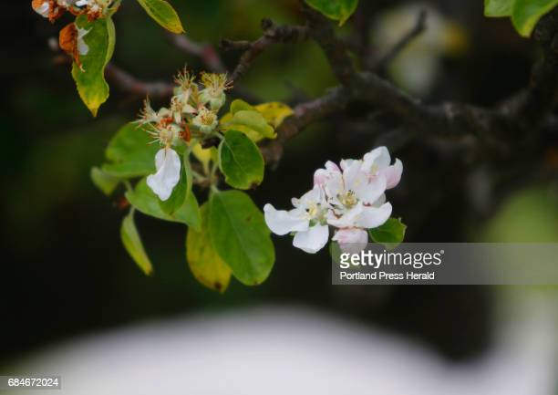 Crabapple blossoms during a visit to Appledore Island where famous American impressionist Childe Hassam painted over the course of 30 years