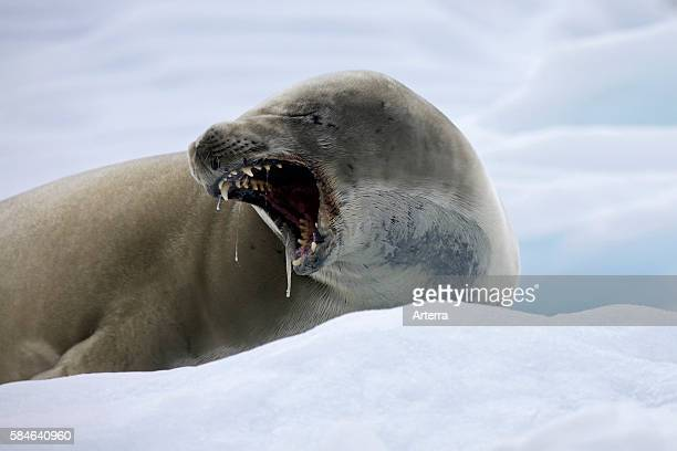 Crabeater seal resting and yawning on iceberg in Paradise Bay Antarctica