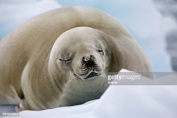 Crabeater seal resting on iceberg in Paradise Bay Antarctica