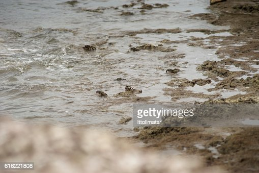 crabs on a dirty rock beach,selective focus,filtered image : Stock-Foto