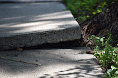 Sidewalk disheveled and damaged by tree roots