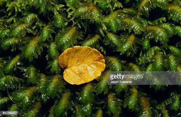 A fallen Deciduous Beech, Nothofagus gunnii, leaf on a moss bryophyte.