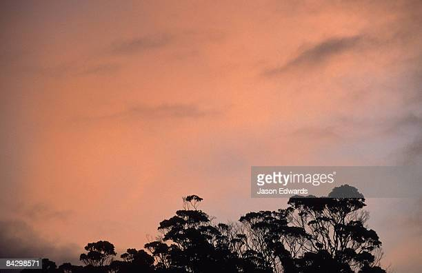 The pre-dawn glow lightens the sky above a Eucalypt forest canopy.
