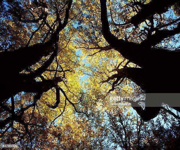 The canopy of Deciduous Beech, Nothofagus gunnii, near Hounslow Heath.