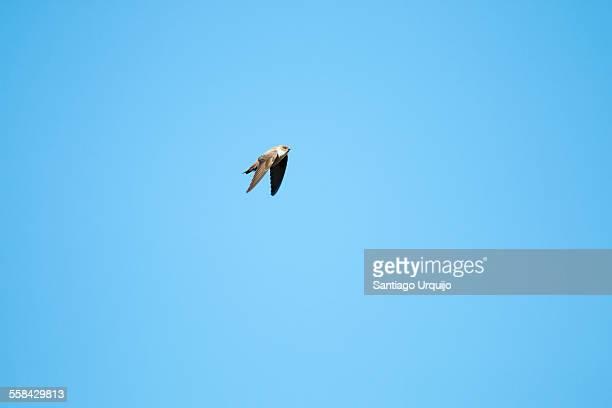 Crag martin flying in midair