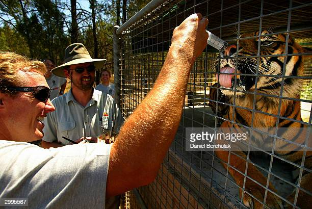 Craig Fitzgibbon of the Roosters feeds a Sumatran Tiger during the NRL Country Clinic at Western Plains Zoo February 19 2004 in Dubbo Australia