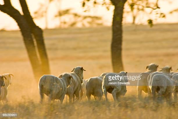 A flock of sheep stampede across dusty drought-stricken farm field.