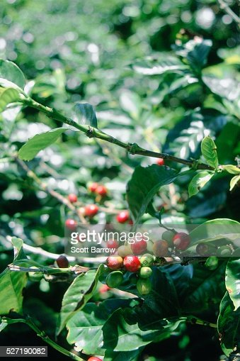 Cranberry bushes : Stock-Foto